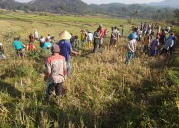 GROPYOKAN: Warga dan petani Desa Kranggan, Kecamatan Pekuncen melaksanakan gropyokan tikus di lokasi persawahan desa setempat kemarin (20/9).
