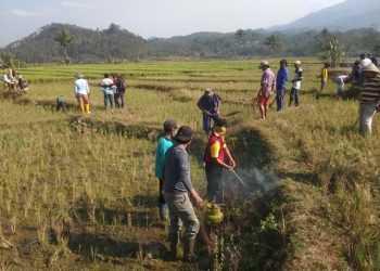 GROPYOK TIKUS:Warga Desa Kranggan, Kecamatan Pekuncen melaksanakan gropyok tikus di areal persawahan desa setempat Jumat (20/9).