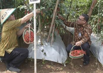 PANEN CABAI : Bupati Banyumas Ahmad Husein dan Kepala Perwakilan BI Purwokerto Agus Chusaini memanen cabai di Desa Gandatapa, beberapa waktu lalu. Cabai Memberi andil deflasi. (SM/Dian A)
