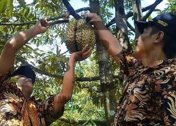 MEMETIK DURIAN: Kades dan perangkat Desa Limbangan, Kecamatan Wanareja, Kabupaten Cilacap memetik durian di Dusun Nangkapeusar, Kamis (23/1). SM/Teguh Hidayat Akbar-52