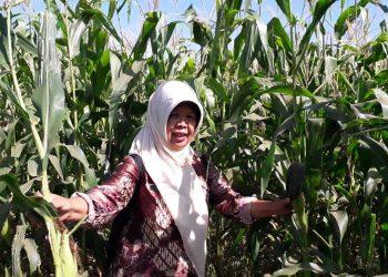 TANAMAN JAGUNG: Koordinator Penyuluh Pertanian Kecamatan Majenang, Tasrini mengecek tanaman jagung di Desa Mulyadadi, baru-baru ini.(SM/dok)