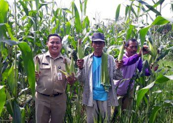 CEK TANAMAN: Penyuluh Pertanian Kecamatan Karangpucung, Kabupaten Cilacap mengecek tanaman jagung bersama petani di Desa Surusunda, Rabu (5/2).(SM/dok)