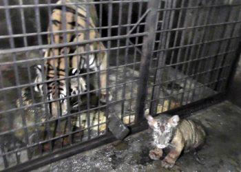 DIAWASI: Darmi, anak harimau benggala yang lahir 1 Maret 2020 lalu tengah diawasi induknya di TRMS Serulingmas Banjarnegara, baru-baru ini. (dok TRMS Serulingmas Banjarnegara)