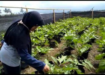 BUAT MEDIA TANAM: Anggota Kelompok Wanita Tani (KWT) Pokcoy Utami, Desa Karanglewas Kidul, Karanglewas saat berkunjung di kebun sayur mereka.