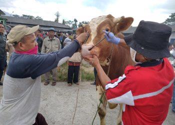 CEK : Mantri hewan sedang mengecek kondisi gigi sapi di Pasar Hewan Banjarnegara untuk mengidetifikasi ternak sudah cukup umur sebagai hewan kurban, Senin (20/7).