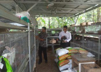 PERIKSA KELINCI:Peternak kelinci asal Desa Semedo, Kecamatan Ajibarang saat memeriksa indukan kelinci di kandang kelinci kemarin.
