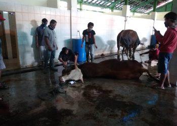 SEMBELIH SAPI: Para jagal bersiap menyembelih sapi di RPH Cilacap, beberapa waktu lalu.