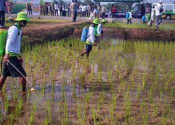PENYEMPROTAN MASSAL: Sejumlah petani di Desa Gumiwang Kecamatan Purwanegara melakukan penyemprotan massal menggunakan pupuk cair Ponskha Organik Cair di lahan seluas 20 hektare. (SB/Castro Suwito-2)
