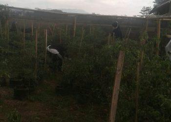 PANEN CABAI:Sejumlah ibu-ibu di wilayah Kecamatan Karanglewas memanen cabai di lahan pekarangan,baru-baru ini (SB/Budi Setiawan)